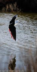 _MG_8550 LR flickr.jpg (Jean Louis BOUYER photographie) Tags: oiseaux échasse blanche échasseblanche