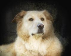 Polo (Doug NC) Tags: colorefex colorefexpro4 nikcollection texture pet dog animal portrait nikond7000 nikkor50mm18 textured