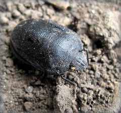 (Eurygaster cf. integriceps) (Gansucha) Tags: hemiptera scutelleridae heteroptera