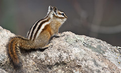 Colorado Chipmunk (Tamias quadrivittatus); Santa Fe National Forest, NM, Thompson Ridge [Lou Feltz] (deserttoad) Tags: nature newmexico animal rodent mamml fauna squirrel chipmunk behavior nationalforest mountain