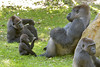 Family + One (023663) (Mike S Perkins) Tags: kczoo makari makena masika radi gorilla westernlowlandgorilla infant baby green family babysitter discussion togetherness