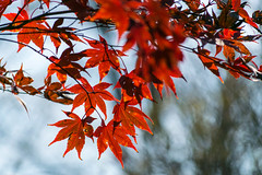Backlit Bokeh (tquist24) Tags: indiana japanesemaple nikon nikond5300 outdoor autumn bokeh clouds fall leaf leaves nature red sky
