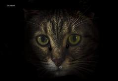 Sguardo nell'ombra (Emanuele Stifanelli) Tags: cat eyes greeneyes animal domesticanimal gatto occhi buio ombre tenebre fear shadow animalidomestici briciola look nikon nikond3200 d3200 nikkor nikkor50mm18g 50mm18g 50mm stiflele emanuelestifanelli amateurphotographer nikonflickraward flickrtravelaward flickr