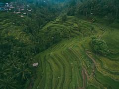Tegalalang Rice Field, Ubud, Bali (Your.Meal) Tags: kutaselatan sukasada bali tegallalang indonesia id kintamani yourmeal island drone dji phantom beach nusadua waterblow wave waterfall dreamland ricefield mount batur explorebali explore nature