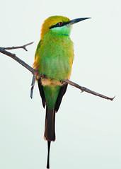 Little Bee-eater (Sinapski) Tags: beeeater wild wildness wildlife bird birds green iran kish island nature closeup eye redeye
