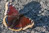 Mourning Cloak - Camberwell beauty (Nymphalis antiopa)-1346 (Stein Arne Jensen) Tags: arthropod arthropoda arthropode buskerud butterflies butterfly camberwellbeauty canon500dcloseupfilter canon500dcloseuplensfilter canon500dcloseuplens canon70d canonef100400f4556lisusm dagsommerfugl dyr ectognatha edelfalter europa europe gliederfüser invertebrateanimal kongsberg leddyr lepidoptera morio mourningcloak norway nymfevinger nymphalidae nymphalisantiopa sagvoldbrua schmetterlinge sommerfugler steinarnejensen sørgekåpe trauermantel animal borboletas macro makro mariposas papillons tier европа траурница бабочки нимфалид أوروبا الفراشات तितलियों यूरोप キベリタテハ タテハチョウ科 ヨーロッパ 歐洲 蝴蝶 蝶 나비 유럽
