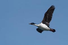 Blue-eyed Shag (Tim Melling) Tags: phalacrocorax atriceps blueeyed imperial shag cormorant punta arenas chile timmelling