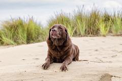 bh :-) (antowo1) Tags: dog hund labrador chocolatelabrador strand beach holiday holland niederlande netherlands schouwenduiveland zeeland nordsee northsee nordzee urlaub vakantie canon eos eos6d ef24105