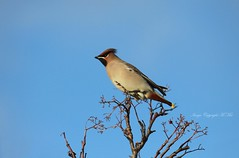 'Bombycilla garrulus' The Waxwing co (nondesigner59) Tags: bombycillagarrulus waxwing bird migrant nature archives copyrightmmee eos50d nondesigner nd59