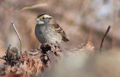 IMG_7904 (grnygole) Tags: sparrow whitethroatedsparrow