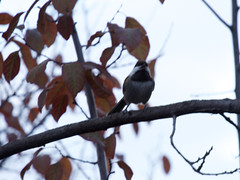 Chickadee 20161130 (caligula1995) Tags: 2016 birdwatching chickadee plumtree