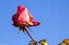 Une des dernières... (Crilion43) Tags: rose france tamron divers paysage centre objectif canon véreaux fleurs 1200d cher arbres blanche ciel jaune nature nuages rouge réflex saumon