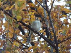 Chipping Sparrow, December 3, 2016 (gurdonark) Tags: bird birds wildlife chipping sparrow limestone quarry park frisco texas