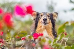 49/52 Leia & big hairy ears (shila009) Tags: 52weeksfordogs perro dog roughcollie leia smile bigears