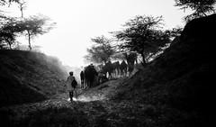 Kicking up Dust (Padmanabhan Rangarajan) Tags: dust pushkar sunset walking camels camelherder india rural festival cattle