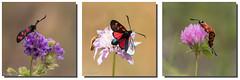 Zygne de la filipendule - Zygaena filipendulae (TESS4756) Tags: 2016 espagne faune faunedespagne insectes papillons thrseb zygaeniae zygnedelafilipendule