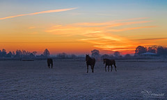 Horses on a cold morning (Paula Darwinkel) Tags: horses landscape sunset sky colorful winter morning early cold ice frozen nature netherlands