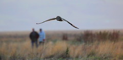 Nature Walk (Cal Killikelly) Tags: short eared owl dee estuary people man woman nature dusk grass