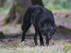 Nice black timbewolf (Tambako the Jaguar) Tags: pretty portrait standing dark wolf canine canid gray black timberwolf canadian parcanimalier saintecroix park parc rhodes zoo france nikon d5