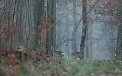 2 chevreuils (Eric Penet) Tags: chevreuil animal avesnois roe france fort faune brocard mammifre mormal mle mammal wildlife wild locquignol nord nature automne froid cervid roedeer