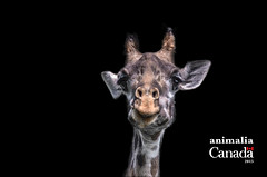 Animalia Cover (Charles Hajj) Tags: canada animals giraffe