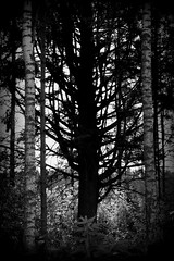 The mother of the trees (D40OOM.eu) Tags: white black tree forest finland breast tit karelia spruce fichte mutation rahkeenniemmi