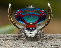 _X8A3294 peacock spider Maratus caeruleus (Jurgen Otto) Tags: