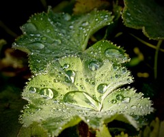 Druppels op het blad van de vrouwenmantel. (Fijgje On/Off) Tags: rain garden drops tuin garten regen tropfen alchemilla druppels ladysmantle vrouwenmantel fijgje leicadgmacroelmarit45f28 panasonicdmcg5 aug2015