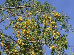 Golden autumn (Gerlinde Hofmann) Tags: yellow fruit germany village plum thuringia twig bürden