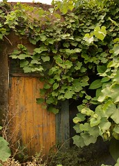 Grapes and doorway (Nick Vidal-Hall) Tags: abandoned yellow foliage doorway grapes