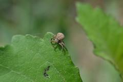 Xysticus sp ? (esta_ahi) Tags: barcelona españa fauna spider spain araña crabspider arachnida cangrejo penedès aranya thomisidae xysticus испания vilafrancadelpenedès