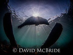untitled (259 of 281).jpg (davidmcbridephotography) Tags: cornwall underwater isles scilly scillies