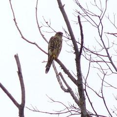 Merlin (Dendroica cerulea) Tags: autumn bird newjersey nj aves raptor merlin falcon highlandpark birdofprey falco falconiformes falconidae falcocolumbarius fav10 middlesexcounty neoaves neognathae donaldsonpark falconinae eufalconimorphae