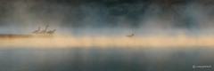 Into the Mist (craig goettsch) Tags: bird nature nikon ngc d750 canadiangoose avian grandtetonnp wildife specanimal