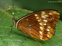 Oxeoschistus protogenia (LPJC) Tags: butterfly ecuador 2014 lpjc wildsumaco wildsumacolodge oxeoschistusprotogenia