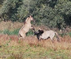 Oostvaarderplassen (Erik van Roekel) Tags: almere oostvaardersplassen konik konikpaarden