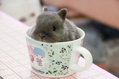 IMG_5366 (Craf'it Cakes) Tags: pet baby cute rabbit bunny purebred netherlanddwarfrabbit