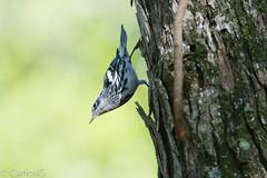 Pegapalo, (Mniotilta varia), Black-and-white Warbler (Gogolac) Tags: birdphotography dominicanphotographers dominicanwildlifephotographer wildlife wildlifephotography