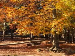 Autumn (David Cucaln) Tags: park parque autumn tree colors landscape arbol colours paisaje colores otoo arbre x20 tardor montseny 2015 cucalon davidcucalon