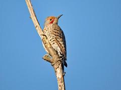 Northern Red-shafted Flicker (RebelRob) Tags: birds woodpecker britishcolumbia vancouverisland birdwatching victoriabc northernflicker colaptesauratus redshaftednorthernflicker