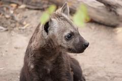 The Baby... Hyena Puppy (Pixi2011) Tags: hyena wildlife krugernationalpark nature