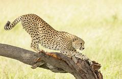 Chita (dragoms) Tags: kenya wildlife cheetah chita maasaimara acinonyxjubatus wildlifephotography qunia wildlifeconservancy dragoms