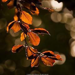 Backup bliss (Steve-h) Tags: backup autumn ireland dublin orange brown black fall nature colors leaves grey beige europa europe colours bokeh eu september copper bliss twigs beech allrightsreserved 2015 hbw happybokehwednesday ©steveh