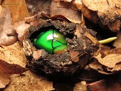 Chlorocala africana (KOLLEKCIONER) Tags: beetle coleoptera cetoniinae