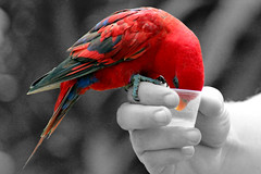 Splash of red (Sophie Lowe Photography) Tags: red colour bird feed splash