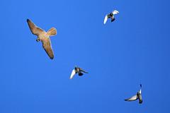 Prairie Falcon top-side, Edmonton, November 2015 (Mike Borl) Tags: falcon prairie birdinflight prairiefalcon
