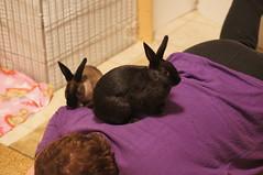 Toki and Zuzu (Anomieus) Tags: pet cute rabbit bunny bunnies animal furry konijn conejo tail ears rabbits paws coney coelho lapin kaninchen houserabbit coniglio cottontail ウサギ cony kanin кролик królik leporidae nyúl κουνέλι iepure заяц leporid กระต่าย 집토끼 兔子的毛皮 kunić питомен