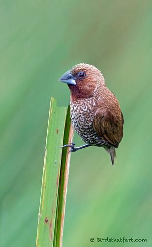 Scaly-breasted munia or spotted munia (Lonchura punctulata)