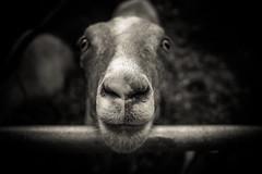 Hello (Selzzi) Tags: blackandwhite minnesota canon statefair goat fair 60d