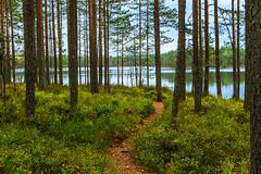 (PaiviSvanback) Tags: autumn suomi finland syksy ruska polku luonnonsuojelualue komionationalpark
